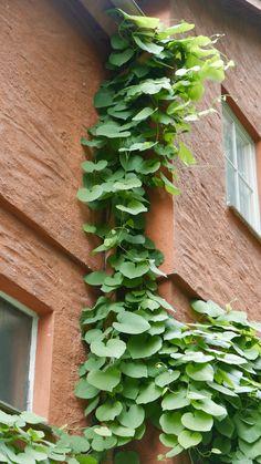 Seks kule klatreplanter du vil lykkes med - Tusenfryden Outdoor Rooms, Planters, Outdoor Structures, Garden, House, Inspiration, Biblical Inspiration, Home, Garten