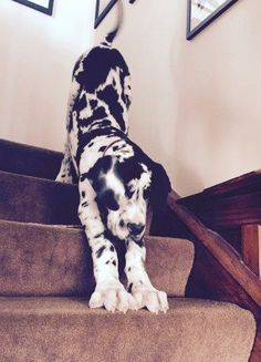 "Visit our site for even more information on ""great dane puppies"". It is actually an outstanding area to find out more. Great Dane Facts, Great Dane Funny, Great Dane Dogs, I Love Dogs, Cute Dogs, Harlequin Great Danes, Blue Great Danes, Weimaraner, Doberman"