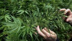 Gobierno de Canadá presentará en abril proyecto de legalización de marihuana - http://wp.me/p7GFvM-ELp