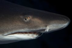 All sizes   The sand tiger shark (Carcharias taurus), grey nurse shark, spotted ragged tooth   Flickr - Photo Sharing!