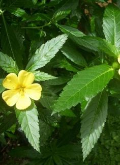 Turnera aphrodisiaca | herb info from the Happy Herb Company
