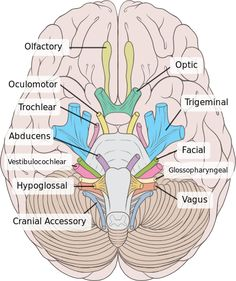 Human Brain normal inferior view with CN labels/color coded