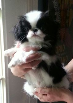 Tiny, my japanese chin Tiny, my japanese chin Source by The post Tiny, my japanese chin appeared first on Gwen Howarth Dogs. Cute Puppies, Cute Dogs, Dogs And Puppies, Doggies, Toy Dogs, Japanese Chin Puppies, Japanese Dogs, Cute Funny Animals, Cute Baby Animals