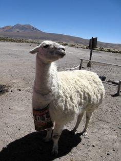 Lama Lolli posiert fürs Foto ... #lauca #nationalpark #lama #anden #chile ©Konstanze Pfeiffer