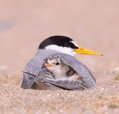 Arctic Tern with young. Saw these nesting in Rose Park area in Salt Lake City, U. Arctic Tern with Pretty Birds, Beautiful Birds, Animals Beautiful, Cute Birds, Nature Animals, Animals And Pets, Wildlife Nature, Photo Animaliere, All Birds
