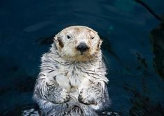 The Sea Otter is the largest member of family Mustelidae, and the smallest marine mammal. Sea Otters are more aquatic even than seals and sea lions, because they mate and give birth in the water. They are tool users, using rocks to pound open hard-shelled prey, such as abalone. Once hunted almost to extinction for their fur, but now protected, they have made a comeback. This has stirred controversy where their predation on abalone, crabs, clams, and sea urchins affects shellfisheries…