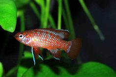 Not a gregarious fish as such and rival males can be very aggressive towards one another, especially in smaller tanks. In these cases only a single pair or one male and several females should be purchased but in roomier surroundings a group can coexist provided there is space for each male to establish a territory and plenty of broken lines of sight.