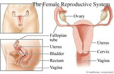 Major components of the female reproductive system are; the ovaries, which produces eggs and the hormones estrogen and progesterone. The oviducts transport ovulated oocyte to the uterus; they are also the usual site of fertilization. The uterus receives and nourishes the fertilized embryo. The vagina receives the penis during intercourse; it also serves as the birth canal. The clitoris contributes to sexual arousal. Last but not least, the breast, which produces milk (Goodenough & Harris…