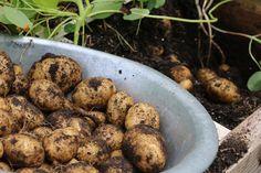 Aardappels telen lukt niet in bakken. Veel te ondiep, toch? Nee hoor, je zet er gewoon een verdieping boven op! Hier zie je precies hoe je dat kan doen.