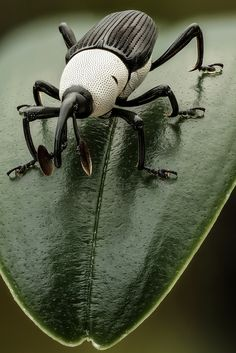 Black and White Weevil by andre de kesel