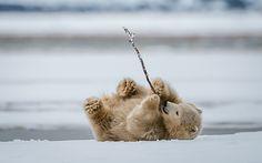 Polar Bear Cub playing with stick -  Photo by Mark Girard Alaska
