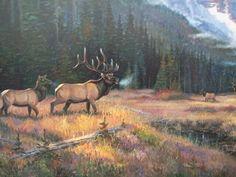 Bull elk & his cows