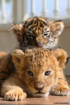 lion and tiger baby