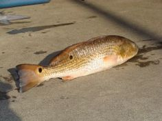 Note the eyespots on the redfish.  Nearly every red drum will have the eyespot near the tail.  Some fish may have only the single spot, others may be covered in spots.