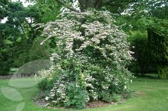 Buy Japanese snowball bush Viburnum plicatum f. 'tomentosum 'Pink Beauty'': Delivery by Crocus