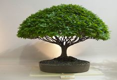 WOW What a tree - Awesome Bonsai! So pretty!