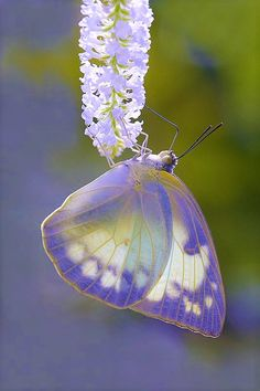 💜✨💜✨💜 💜Amazing beauty💜 Violet colored butterfly wings. They look like a stained glass window with the sun shining through.