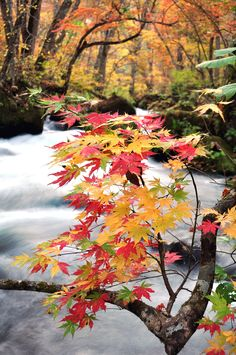 Leaves are into yellow and red. At Oirase river in Aomori,Japan.