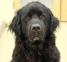 Alex is an adoptable Newfoundland Dog Dog in Anchorage, AK. PLEASE READ FULL DESCRIPTION BEFORE EMAILING OR CALLING WITH QUESTIONS ABOUT THIS PET!!! Alex is a BIG boy! He is purebred Newfie and is 4yr...