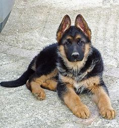 Fotos de pastores alemanes cachorros - Imagui