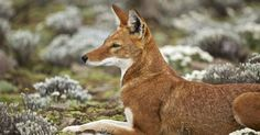 Ethiopian wolf.