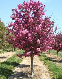 Crab Apple Tree - for the front yard Landscaping Trees, Outdoor Landscaping, Front Yard Landscaping, Outdoor Gardens, Outdoor Trees, Potted Trees, Trees To Plant, Trees For Front Yard, Baumgarten