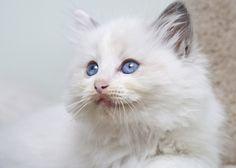 Radgoll cat breed