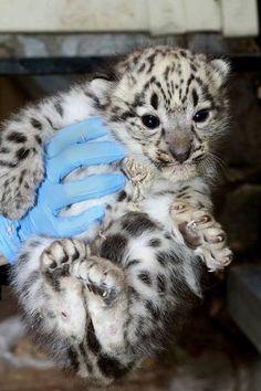 Snow Leopard Cubs |Photo Credit: Monte Stiles