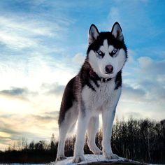 #cãododia husky siberiano, é um cão muito sociável, porém não é um cão ideal…