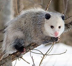 Opossum Control: No longer deal with opossum pests on your property