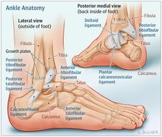 Ankle Sprains in Youth: This Patient Page discusses how to treat ankle sprains to improve comfort and speed up recovery. Ankle Anatomy, Foot Anatomy, Ankle Surgery, Sprained Ankle, Medical Anatomy, Human Anatomy And Physiology, Podiatry, Muscle Anatomy, Athletic Training