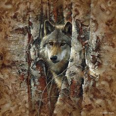 Wolf in birch trees wildlife painting art print.