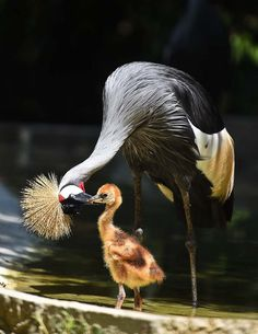 raindropsonroses-65: Crowned Crane and chick WS2015-38 by roberto pierangeli on Flickr
