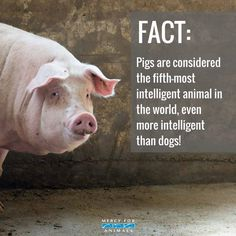 Mercy For Animals – Pigs are the most intelligent animal in the world. Mercy For Animals – Pigs are the most intelligent animal in the world. Mercy For Animals, Save Animals, Reasons To Be Vegan, Vegan Facts, Vegan Quotes, Vegan Animals, Vegan For The Animals, Stop Animal Cruelty, Animal Quotes