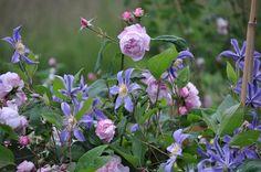 """<p> Die+Rose+Ispahan+und+Clematis+integrifolia+""""Juuli""""</p> <p> Sind+eine+tolle+Kombination....</p>"""