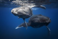 Baby and mother Humpback Whales Photograph by Gaby Barathieu -- National Geographic Your Shot