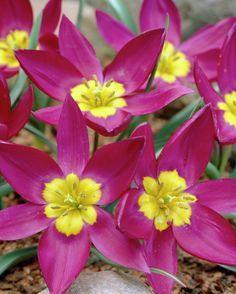 tulip odalisque tulipas