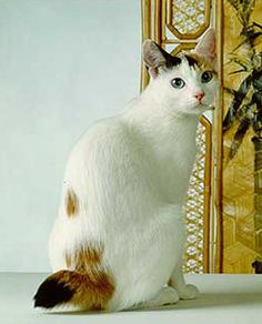 japanese bobtail cat in finland