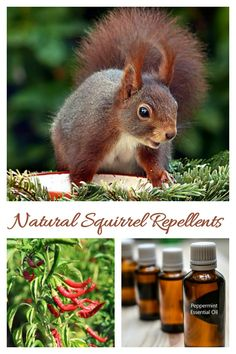These natural squirrel repellent ideas will help you manage with a summer time pest. Plant Pests, Garden Pests, Garden Insects, Squirrel Repellant, Organic Gardening, Gardening Tips, Organic Farming, Get Rid Of Squirrels, Organic Insecticide