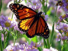 Monarch.