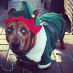 Super cute dachshund Christmas photos! Come see them all on Furever Dachshund Rescue's blog!