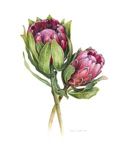Two Pink Proteas Limited edition print 100 only   Etsy