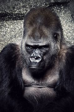 I mean no disrespect by Tim McCoy Primates, Gorillas In The Mist, Animals And Pets, Cute Animals, Types Of Monkeys, Gorilla Tattoo, Silverback Gorilla, Mountain Gorilla, Tatoo