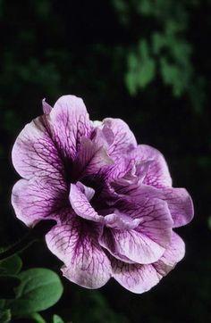 Petunia 'Thumbelina' Fotografia de John Glover, uno de los primeros y de los mas importantes fotografos de jardin del Reino Unido