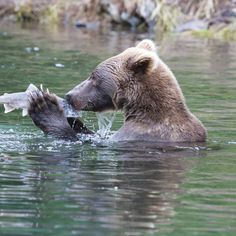 """9 Likes, 1 Comments - Cruise Traveller (@cruisetraveller) on Instagram: """"You may have seen this picture before - Bear Kissing Salmon - by @uncruise but it is sooo good -…"""""""