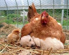 """Oh my goodness... so funny. Poor little chick is like, """"but mom, isn't that supposed to be me under there? Guess it is only for the chick-in-egg. (get it?). Ugh"""""""