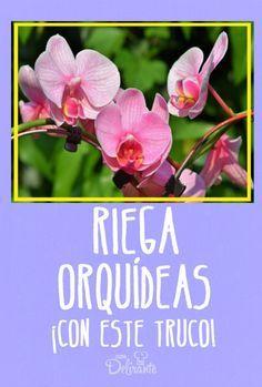 Como Se Riegan Las Orquideas