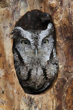 Owl Peeking