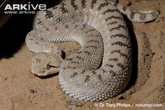 The Arabian horned viper is one of three currently recognised species of horned viper, a group which is recognisable for the distinctive horn-like scales that project from above the eyes of some individuals (3). The Arabian horned viper has sandy-coloured upperparts, marked with faint, light brown crossbars along the back, and white or yellowish underparts (2) (4). The head is broad and roughly triangular, while the body is robust, with a short tail, and covered with keeled scales (4). Like…