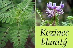 Kozinec blanitý - účinky na zdraví, použití, užívání, využití, co léčí - Bylinky pro všechny Healing Herbs, Herb Garden, Plants, Gardening, Google Search, Lawn And Garden, Herbs Garden, Plant, Medicinal Plants